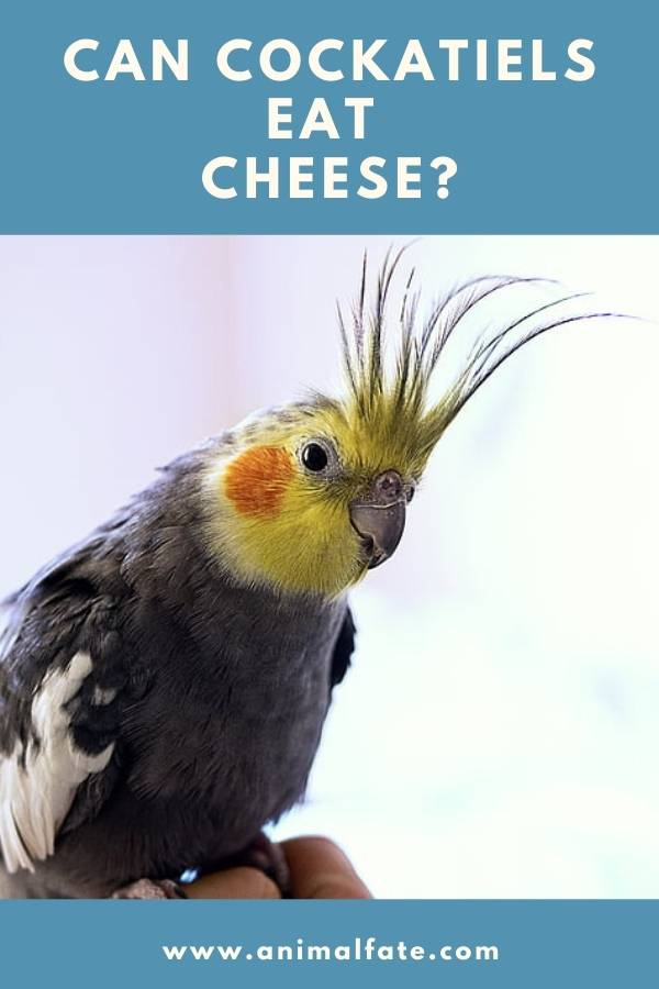can cockatiels eat cheese