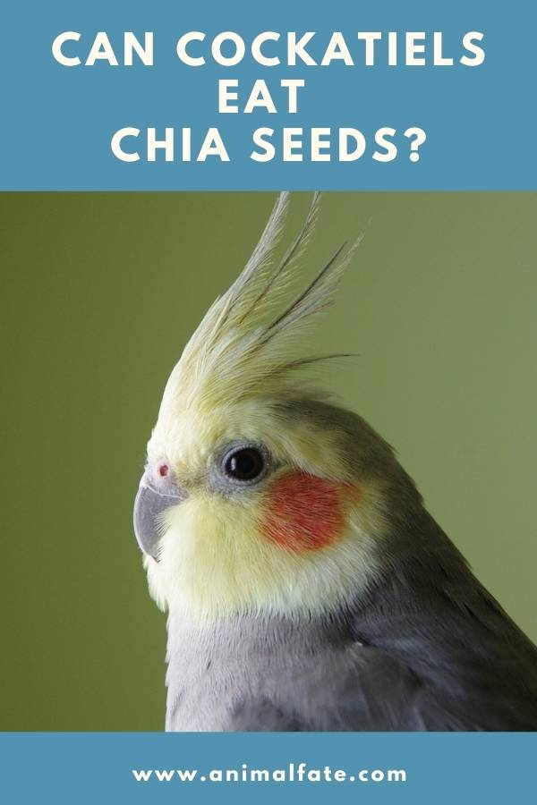 can cockatiels eat chia seeds