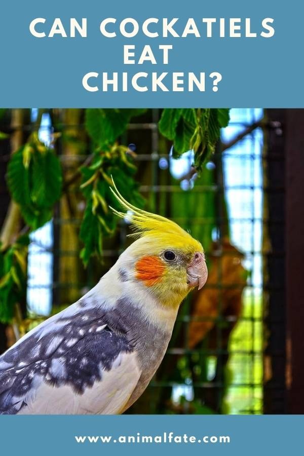can cockatiels eat chicken