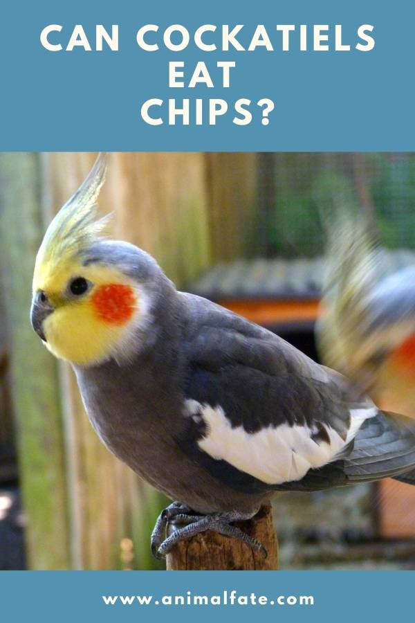 can cockatiels eat chips