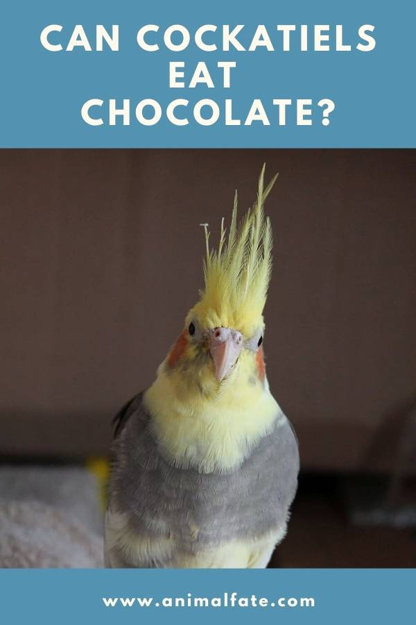 can cockatiels eat chocolate