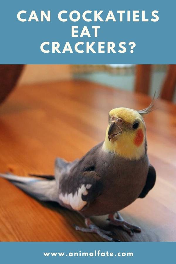 can cockatiels eat crackers