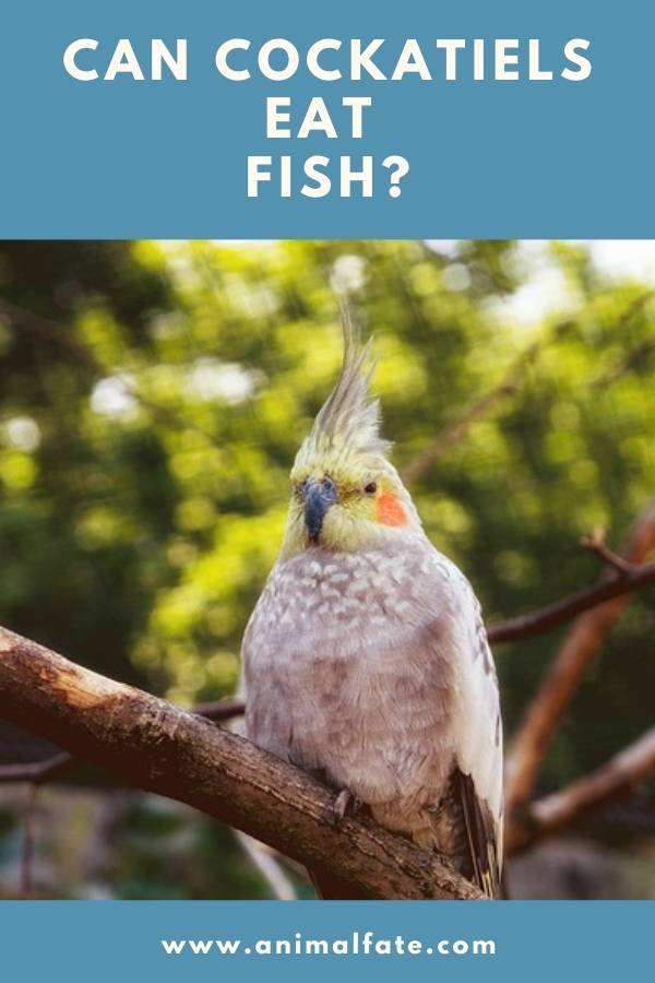 can cockatiels eat fishes