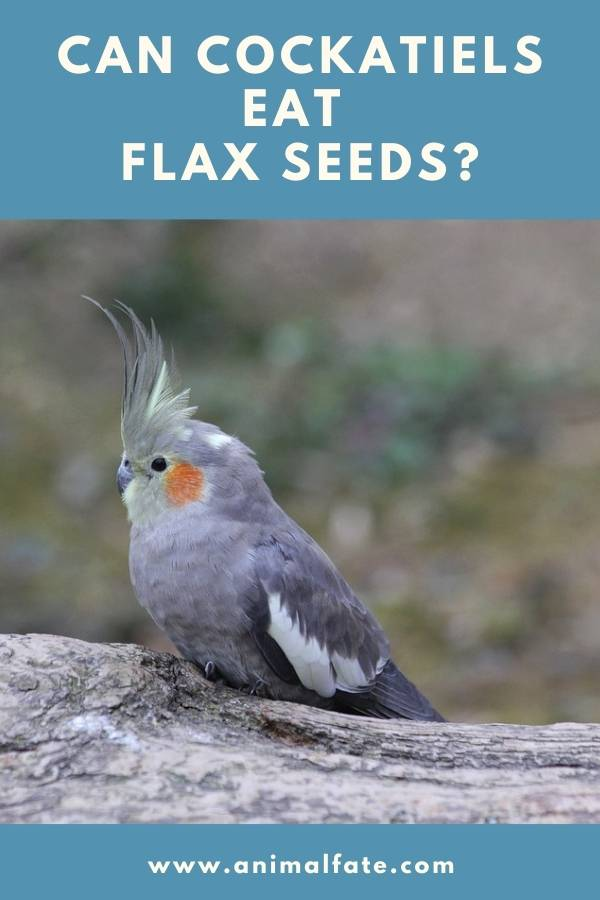 can cockatiels eat flax seeds