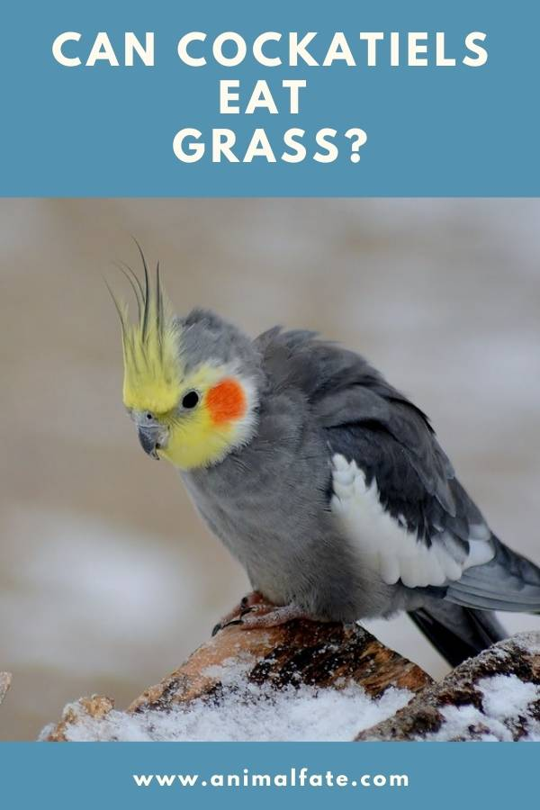 can cockatiels eat grass