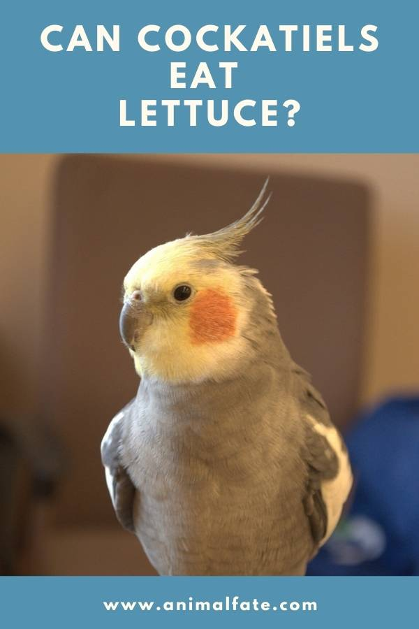 can cockatiels eat lettuce