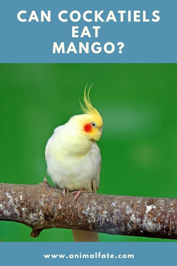 can cockatiels eat mango