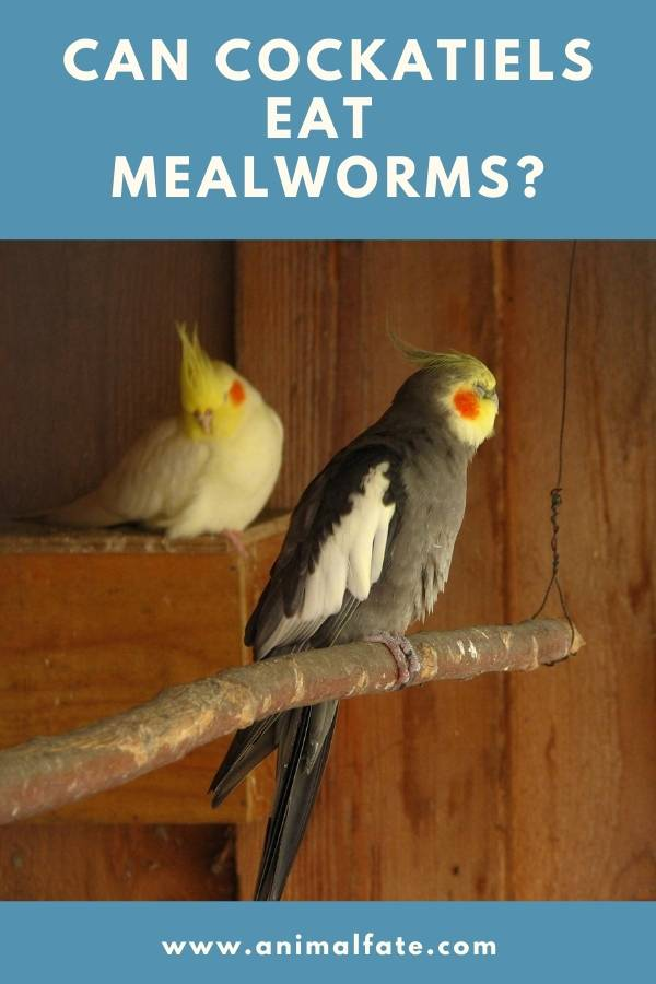 can cockatiels eat mealworms