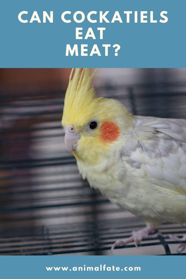 can cockatiels eat meat