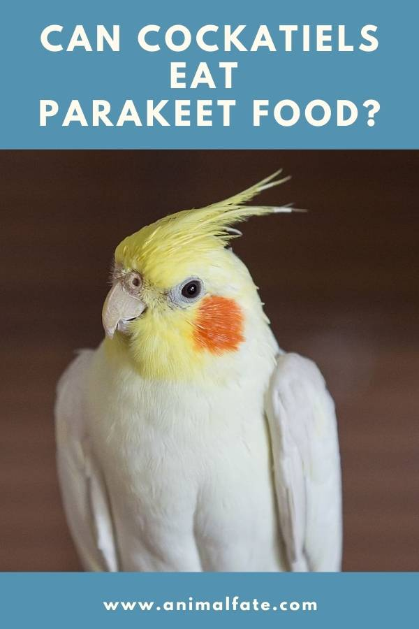 can cockatiels eat parakeet food