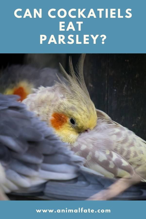 can cockatiels eat parsley