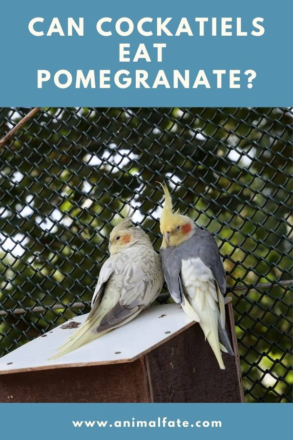 can cockatiels eat pomegranate