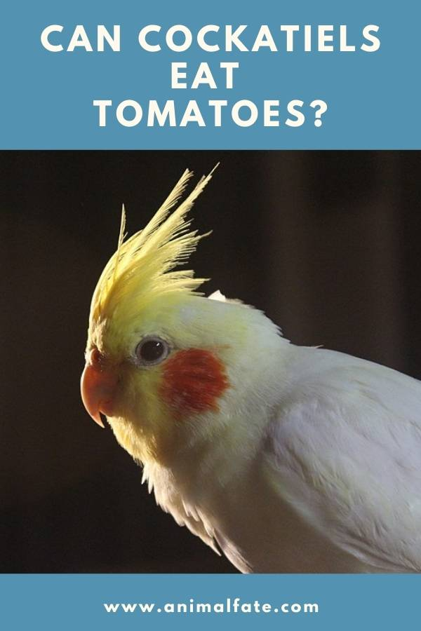 can cockatiels eat tomatoes