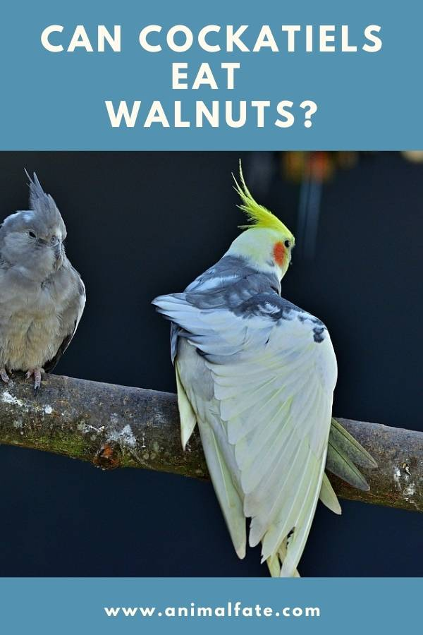 can cockatiels eat walnuts