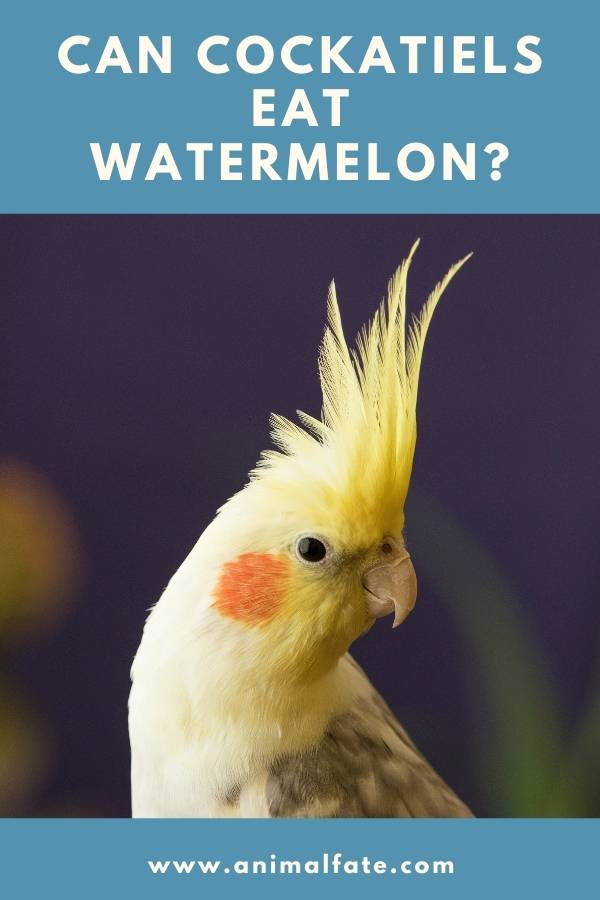 can cockatiels eat watermelon