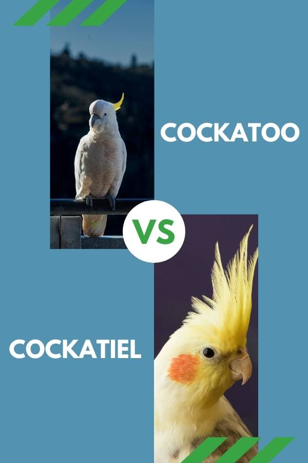 cockatoo vs cockatiel