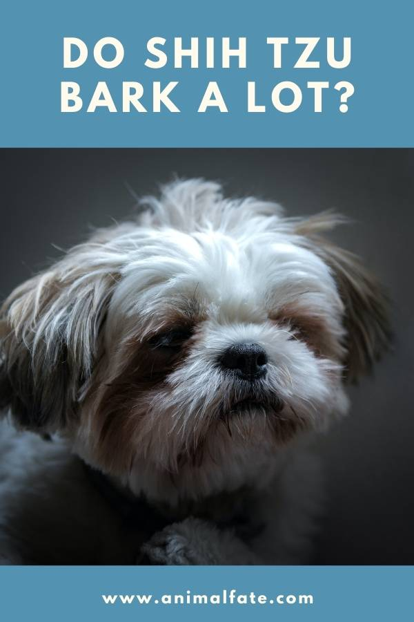 do shih tzu bark a lot
