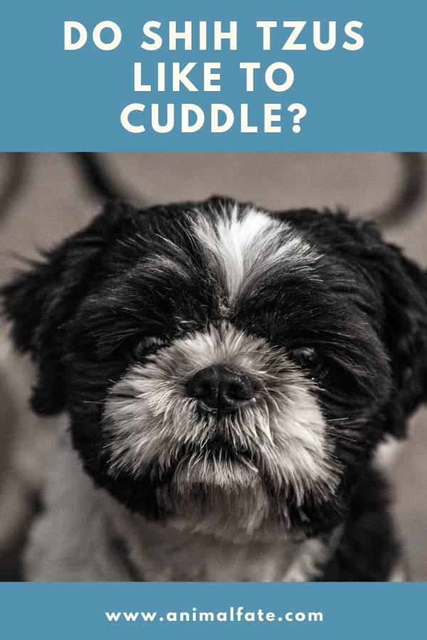 do shih tzus like to cuddle