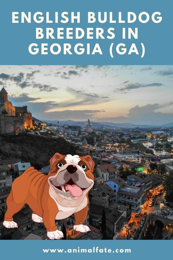 english bulldog breeders in Georgia