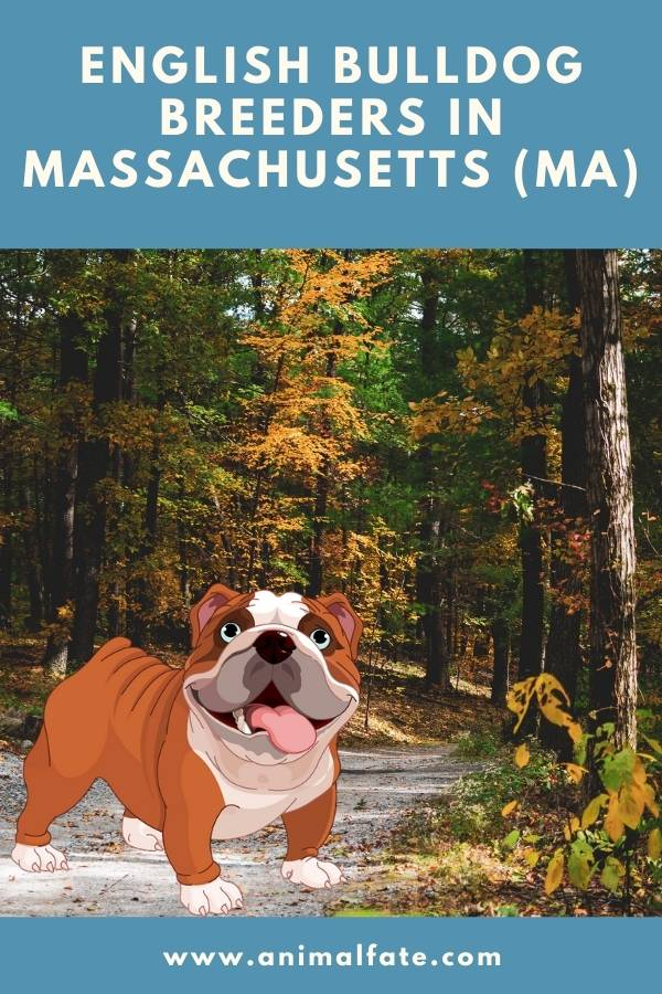 english bulldog breeders in massachusetts