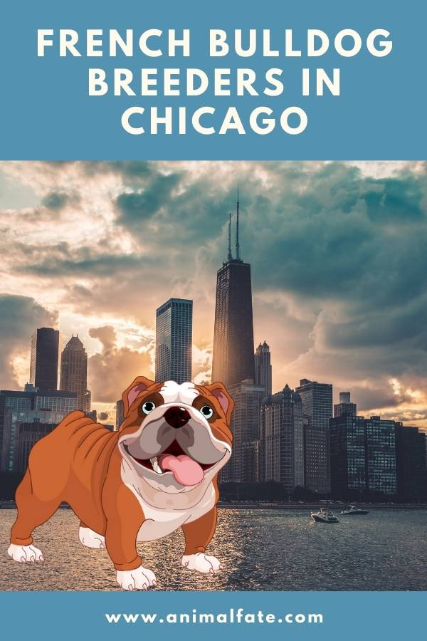 french bulldog breeders in chicago