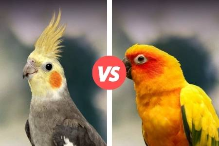 difference between cockatiel and conure
