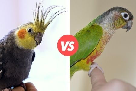 difference between green cheek conure and cockatiel