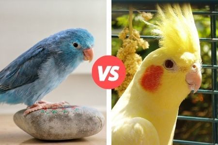 difference between parrotlet and cockatiel