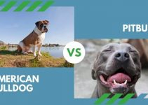 American Bulldog vs. Pitbull (All You Need to Know)