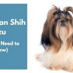 American Shih Tzu dog breed