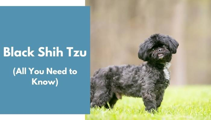 Black Shih Tzu dog breed