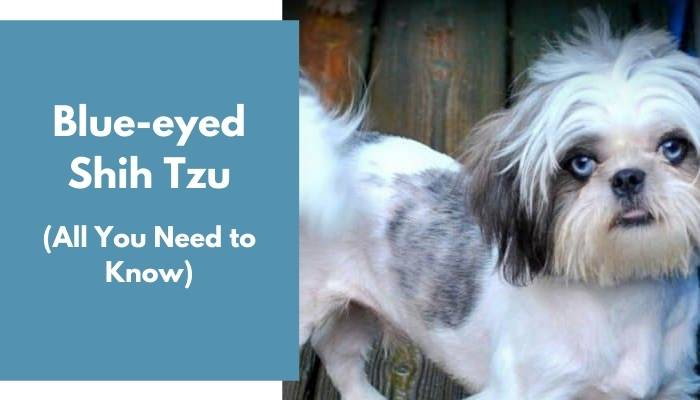 Blue-eyed Shih Tzu dog breed