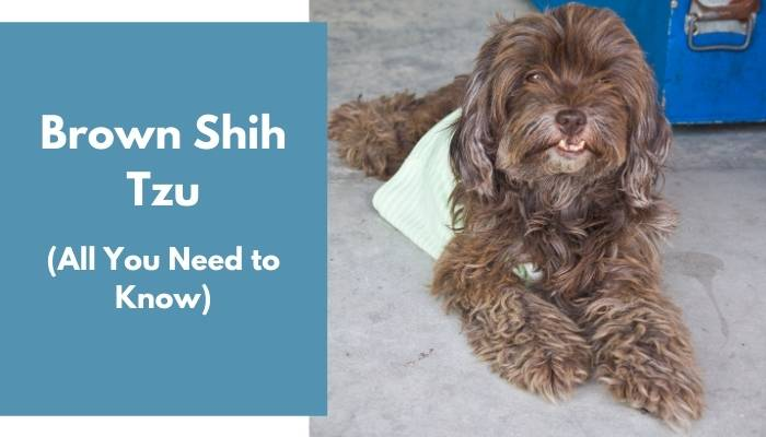 Brown Shih Tzu dog breed