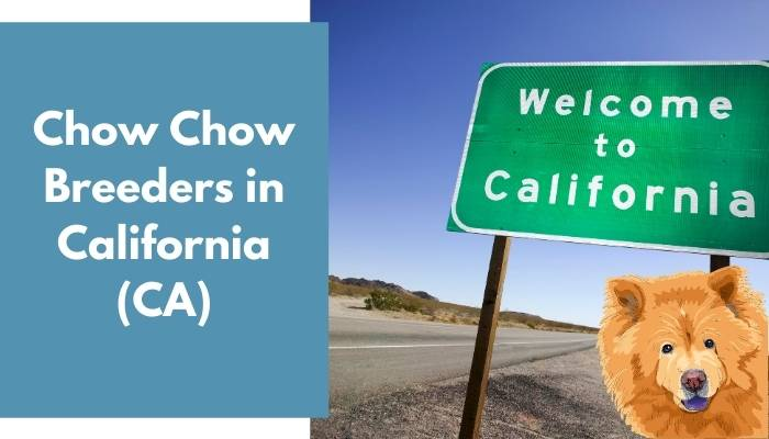 Chow Chow Breeders in California (CA)