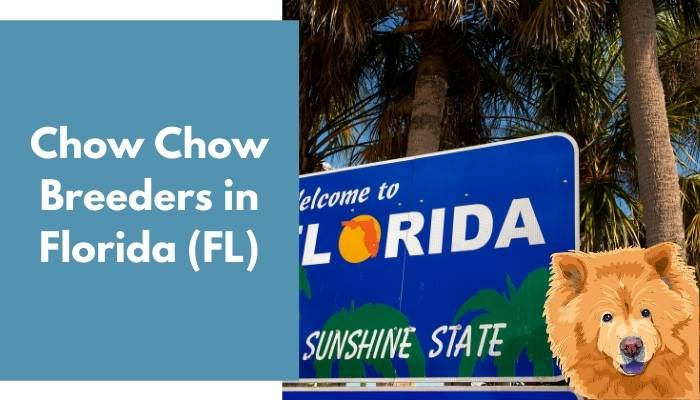 Chow Chow Breeders in Florida (FL)