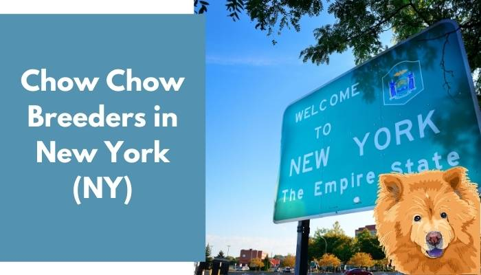 Chow Chow Breeders in New York (NY)