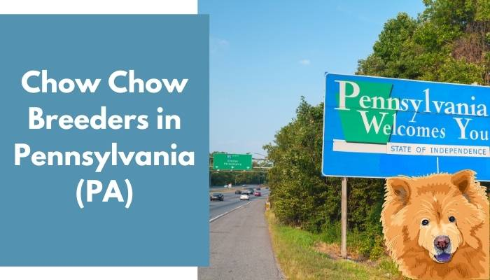 Chow Chow Breeders in Pennsylvania (PA)