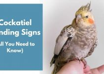 Cockatiel Bonding Signs (All You Need to Know)