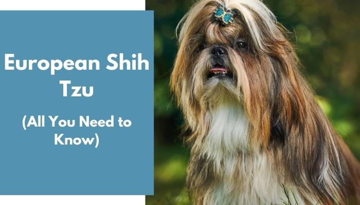 European Shih Tzu dog breed