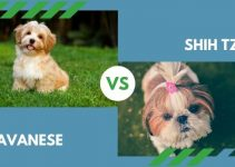 Havanese vs. Shih Tzu (All You Need to Know)
