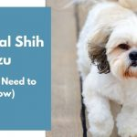 Imperial Shih Tzu dog breed