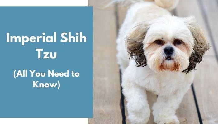 Imperial Shih Tzu dog breed