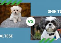 Maltese vs. Shih Tzu (All You Need to Know)