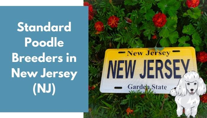 Standard Poodle Breeders in New Jersey (NJ)