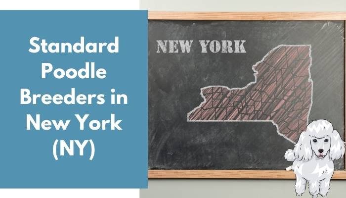 Standard Poodle Breeders in New York (NY)
