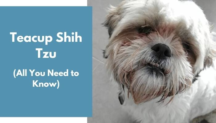 Teacup Shih Tzu dog breed