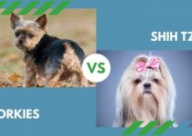 Yorkies vs. Shih Tzu (All You Need to Know)