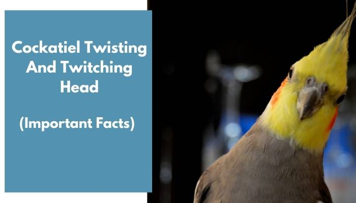 cockatiel twisting and twitching head