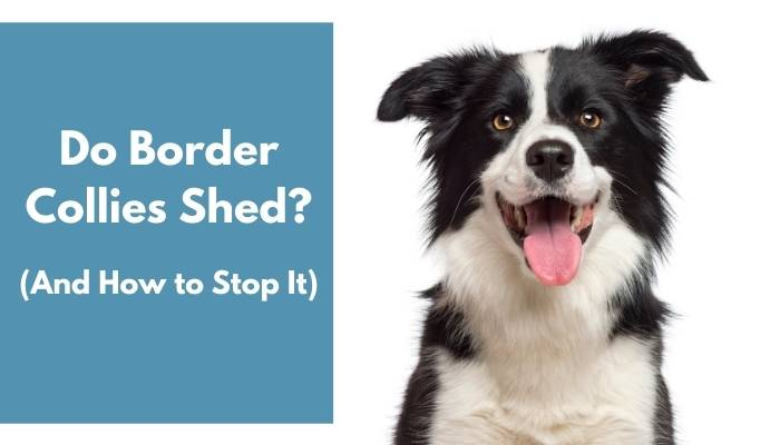 do border collies shed