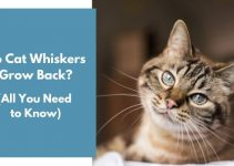 Do Cat Whiskers Grow Back? (All You Need to Know)